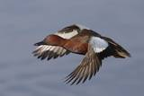 Cinnamon Teal Drake in Flight Photographic Print by Hal Beral