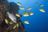 Barberfish School (Johnrandallia Nigrirostris) Photographic Print by Reinhard Dirscherl