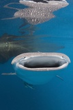 Whale Shark Filter Feeding Photographic Print by Reinhard Dirscherl