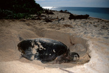 Green Sea Turtle Digging a Nesting Hole on a Beach (Chelonia Mydas), Pacific Ocean, Borneo. Photographic Print by Reinhard Dirscherl