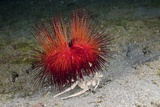 Urchin Crab (Dorippe Frascone) Carrying a Red Sea Urchin (Astropyga Radiata), Lembeh Strait, North Photographic Print by Reinhard Dirscherl