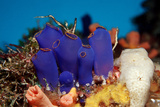 Sea Squirt Tunicates on a Coral Reef (Ascidia), Pacific Ocean, Panglao Island. Photographic Print by Reinhard Dirscherl