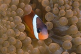 Tomato Anemonefish (Amphiprion Frenatus) Photographic Print by Reinhard Dirscherl