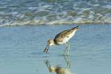 Willet; Photographic Print by Gary Carter