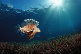 Lionfish or Turkeyfish (Pterois Volitans), Indonesia. Photographic Print by Reinhard Dirscherl
