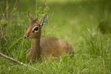 Kirk's Dik-Dik Resting in Grass Photographic Print by Joe McDonald