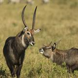 Defassa Waterbuck Pair Photographic Print by Joe McDonald