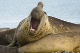 Southern Elephant Seal Bull Calling Photographic Print by Joe McDonald