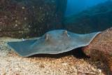 Diamond Stingray (Dasyatis Brevis) Photographic Print by Reinhard Dirscherl