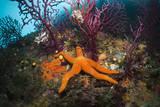 Red Starfish on a Coral Reef (Echinaster Sepositus), Cap De Creus, Costa Brava, Spain Photographic Print by Reinhard Dirscherl