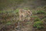 Wild Puma in Chile Photographic Print by Joe McDonald
