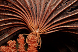 Crevice Crinoid (Comanthus Parvicirrus), Pacific Ocean, Panglao Island. Photographic Print by Reinhard Dirscherl