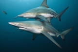 Blacktip Sharks (Carcharhinus Limbatus) Photographic Print by Reinhard Dirscherl