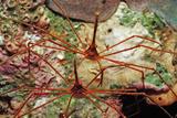 Two Spider Hermit Crabs, Stenorhynchus Seticornis, Netherlands Antilles, Bonaire, Caribbean Sea Photographic Print by Reinhard Dirscherl