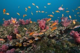 Lyretail Anthias Photographic Print by Reinhard Dirscherl