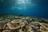Table Corals (Acropora) Photographic Print by Reinhard Dirscherl