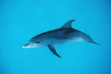 Atlantic Spotted Dolphin, Stenella Frontalis, Usa, Fl, Florida, Atlantic Ocean Reproduction photographique par Reinhard Dirscherl