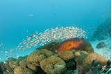 Schoolof Pygmy Sweepers and a Coral Grouper Photographic Print by Reinhard Dirscherl