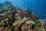 Lyretail Anthias (Pseudanthias Squamipinnis) in Coral Reef Reproduction photographique par Reinhard Dirscherl