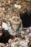 Starry Grouper (Epinephelus Labriformis) Photographic Print by Reinhard Dirscherl