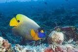 Yellowmask Angelfish (Pomacanthus Xanthometopon) Photographic Print by Reinhard Dirscherl