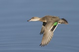 Greeb-Winged Teal Hen in Flight Photographic Print by Hal Beral