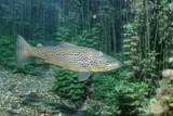 Trout (Salmo Trutta), Germany Photographic Print by Reinhard Dirscherl