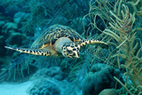 Hawksbill Sea Turtle, Eretmochelys Imbricata, Martinique, French West Indies, Caribbean Sea Reproduction photographique par Reinhard Dirscherl