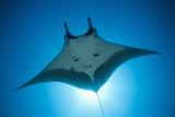 Manta Ray with Remora (Manta Birostris) Reproduction photographique par Reinhard Dirscherl