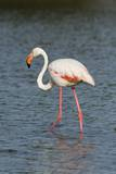 Greater Flamingo (Phoenicopterus Roseus) Photographic Print by Sergio Pitamitz