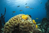 Caribbean Coral Reef Photographic Print by Reinhard Dirscherl
