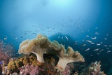 Mushroom Soft Corals (Sarcophyton), Raja Ampat, West Papua, Indonesia Photographic Print by Reinhard Dirscherl