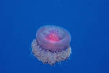 Crown Jellyfish (Netrostoma Setouchina), Red Sea, Egypt. Photographic Print by Reinhard Dirscherl