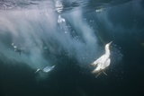 Cape Gannets (Morus Capensis) Diving for Fish Photographic Print by Reinhard Dirscherl