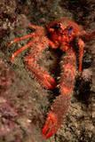 Crab (Galathea Strigosa). Fotografisk tryk af Reinhard Dirscherl