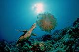 Hawksbill Sea Turtle (Eretmochelys Imbricata) Eating a Jellyfish, Indian Ocean Photographic Print by Reinhard Dirscherl