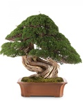 Bonsai Juniper Photographic Print by Fabio Petroni