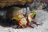 Smasher Mantis Shrimp Photographic Print by Reinhard Dirscherl