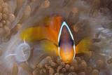 Tomato Anemonefish (Amphiprion Frenatus) Photographic Print by Reinhard Dirscherl