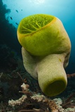 Green Reef Tunicate or Sea Squirt (Didemnum Molle), Alam Batu, Bali, Indonesia Photographic Print by Reinhard Dirscherl