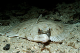 Plaice (Pleuronectes Platessa), Atlantic Ocean, Europe. Photographic Print by Reinhard Dirscherl