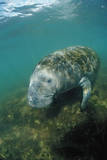 West Indian Manatee, Trichechus Manatus Latirostris, Usa, Florida, Fl, Everglades Photographic Print by Reinhard Dirscherl