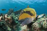 Moustache Triggerfish Photographic Print by Reinhard Dirscherl