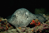 Black-Spotted Stingray (Taeniura Meyeni). Photographic Print by Reinhard Dirscherl