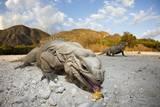Rhinoceros Iguana (Cyclura Cornuta) Reproduction photographique par Reinhard Dirscherl