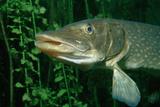 Pike Head (Esox Lucius). Reproduction photographique par Reinhard Dirscherl