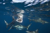 Blacktip Sharks (Carcharhinus Limbatus) Photographic Print by Reinhard Dirscherl