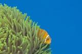 Maldives Anemonefish (Amphiprion Nigripes) Reproduction photographique par Reinhard Dirscherl