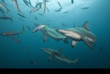 Blacktip Sharks (Carcharhinus Limbatus), Aliwal Shoal, Indian Ocean, South Africa Photographic Print by Reinhard Dirscherl