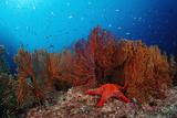 Red Starfish and Coral Reef, Asteroidea, Mexico, Sea of Cortez, Baja California, La Paz Photographic Print by Reinhard Dirscherl